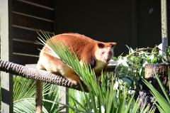 Tree Kangaroo Encounter