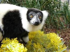 Ruff Lemur Encounter