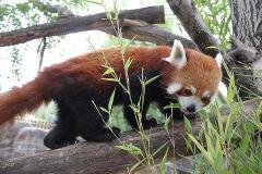 Red Panda Encounter