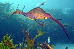 Shore Dive, Flinders Pier & Weedy Sea Dragons!