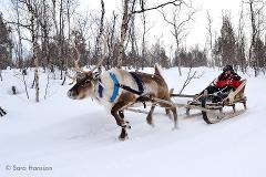 Arctic Reindeer Sledding (Jan-March)