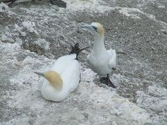 Muriwai Gannets and Vineyard Lunch