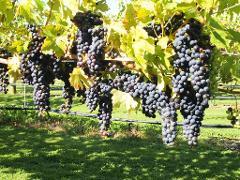 Short Tour of Picton and Blenheim Wine Region