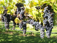 SINGLES SPECIAL: Full Day Wine Gourmet and Scenic Delights Tour from Blenheim