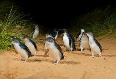 Charter - Phillip Island Penguins & Koalas