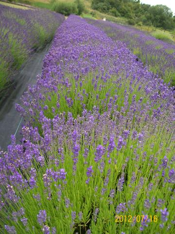 Lavender Fields & Festival Sequim 2017