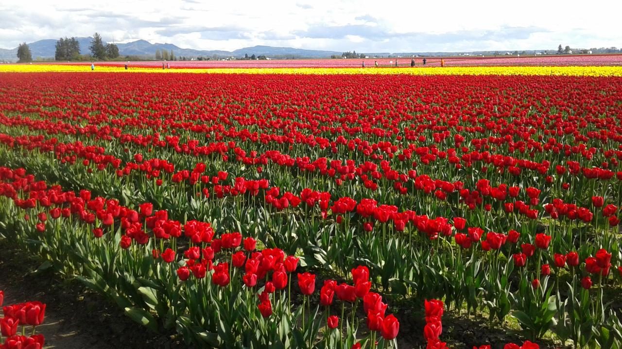 Tulip Festival Tour from Seattle