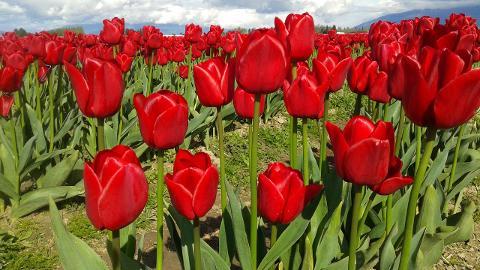 Tulip Festival Tour
