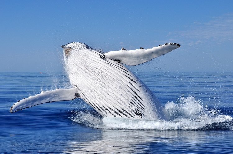 3 Day Humpback Whale Research Expedition | Experience of a Lifetime