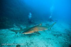 Shark Explorer Weekend | North Stradbroke Island