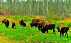 Wildlife Buffalo Tours