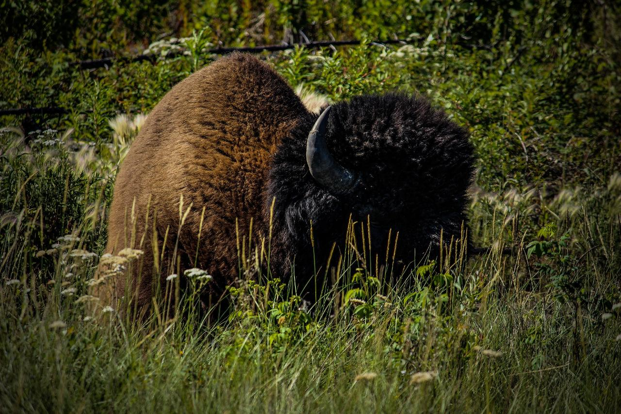 Wildlife Buffalo Tour