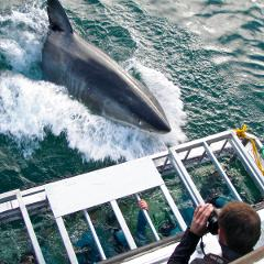 Voucher:Shark Cage Dive from Cape Town