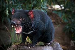 Private South East Food and Scenic Tour including Tasmanian Devils  Day Tour from Hobart 2  - 6 Passengers. Entry Fees Included