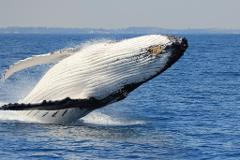 Whale Watching EARLY BIRD Morning Cruise Departs 9:00am Monday to Sunday 22 August - 17 September