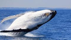 Gift Voucher Whale Watching (Adult)