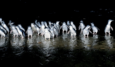 Phillip Island Penguin Parade & Wildlife Park $145