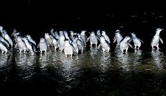 Phillip Island Penguin Parade & Wildlife Park $130