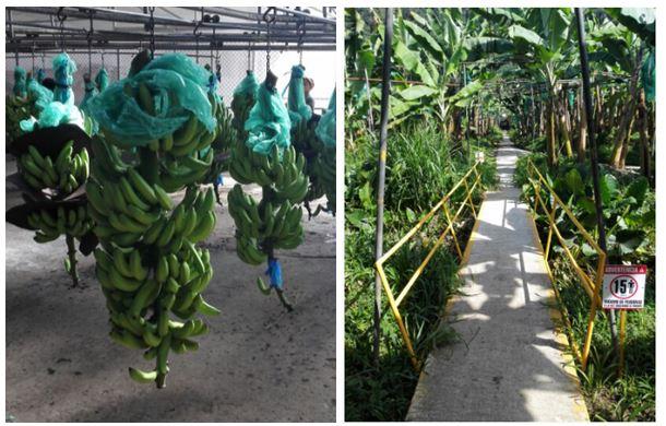Private Go Bananas! Plantation Tour and Beach Hike! Congo Bongo