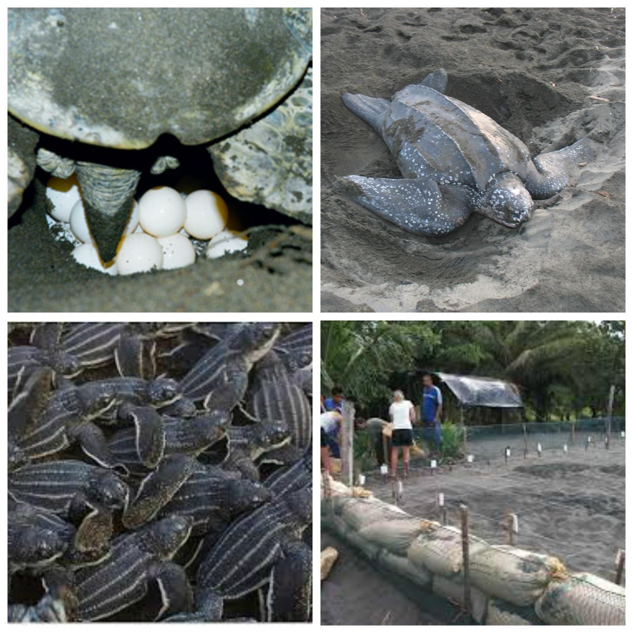 Gandoca Turtles (Congo Bongo)