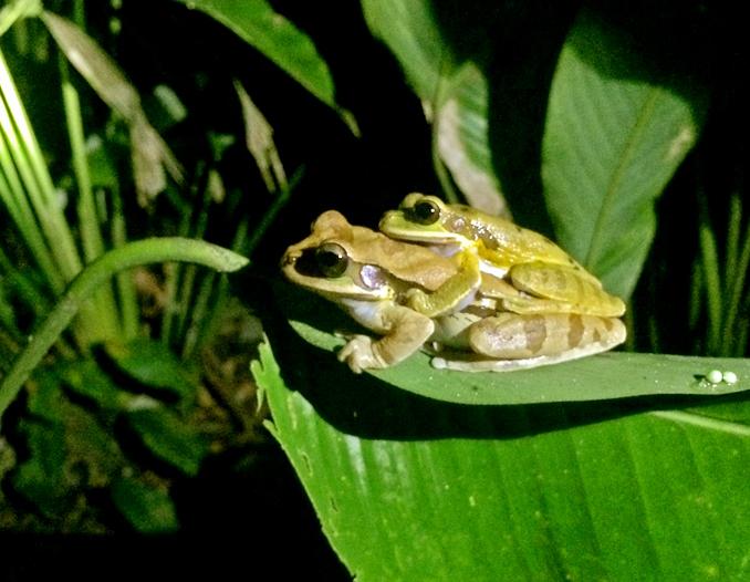 RARG Reserve Caribbean Rain Forest - Night Tour Congo Bongo