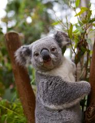 Breakfast with a Koala (including General Admission)