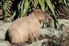 Capybara Close Encounters Gift Card