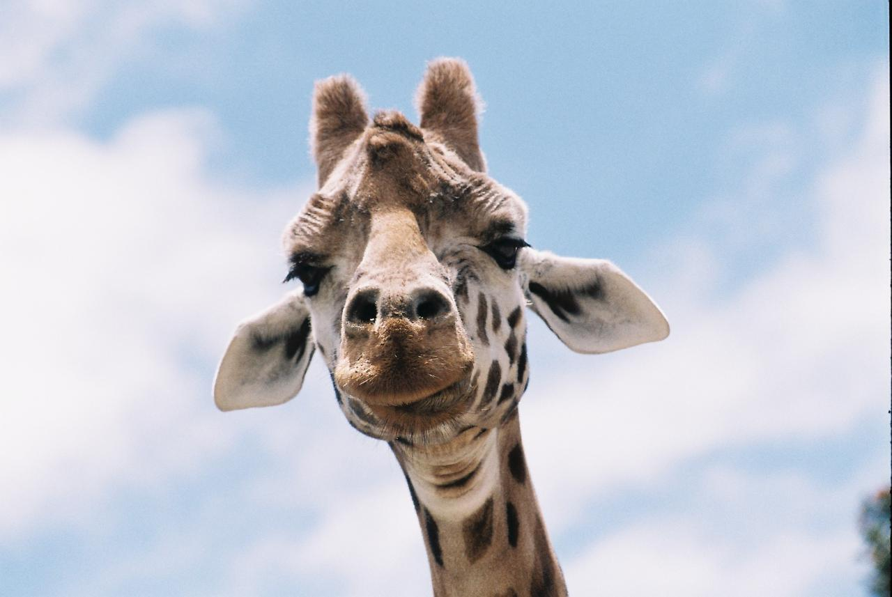 Giraffe Close Encounter