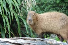 COMING SOON Capybara Close Encounter
