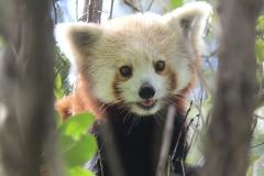 Red Panda Close Encounter