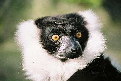 Lemur Close Encounter