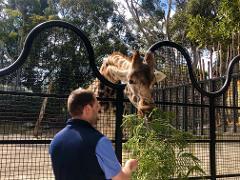 Giraffe Close Encounter