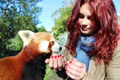 Red Panda Close Encounter