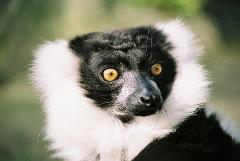 Lemur Close Encounter Gift Card