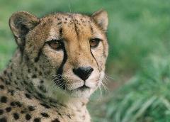Cheetah Close Encounter