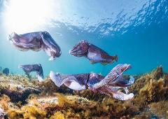 Swim with the Giant Cuttlefish