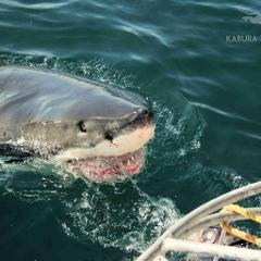 Private Shark Cage Diving With Private Boat and Transfers