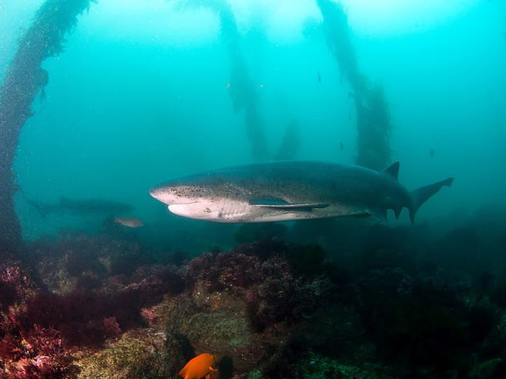 Sevengill Shark Diving Expedition