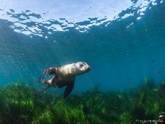 La Jolla Cove Sea Lion Snorkeling