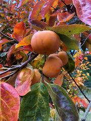 Pick Your Own Persimmon 2019 Season
