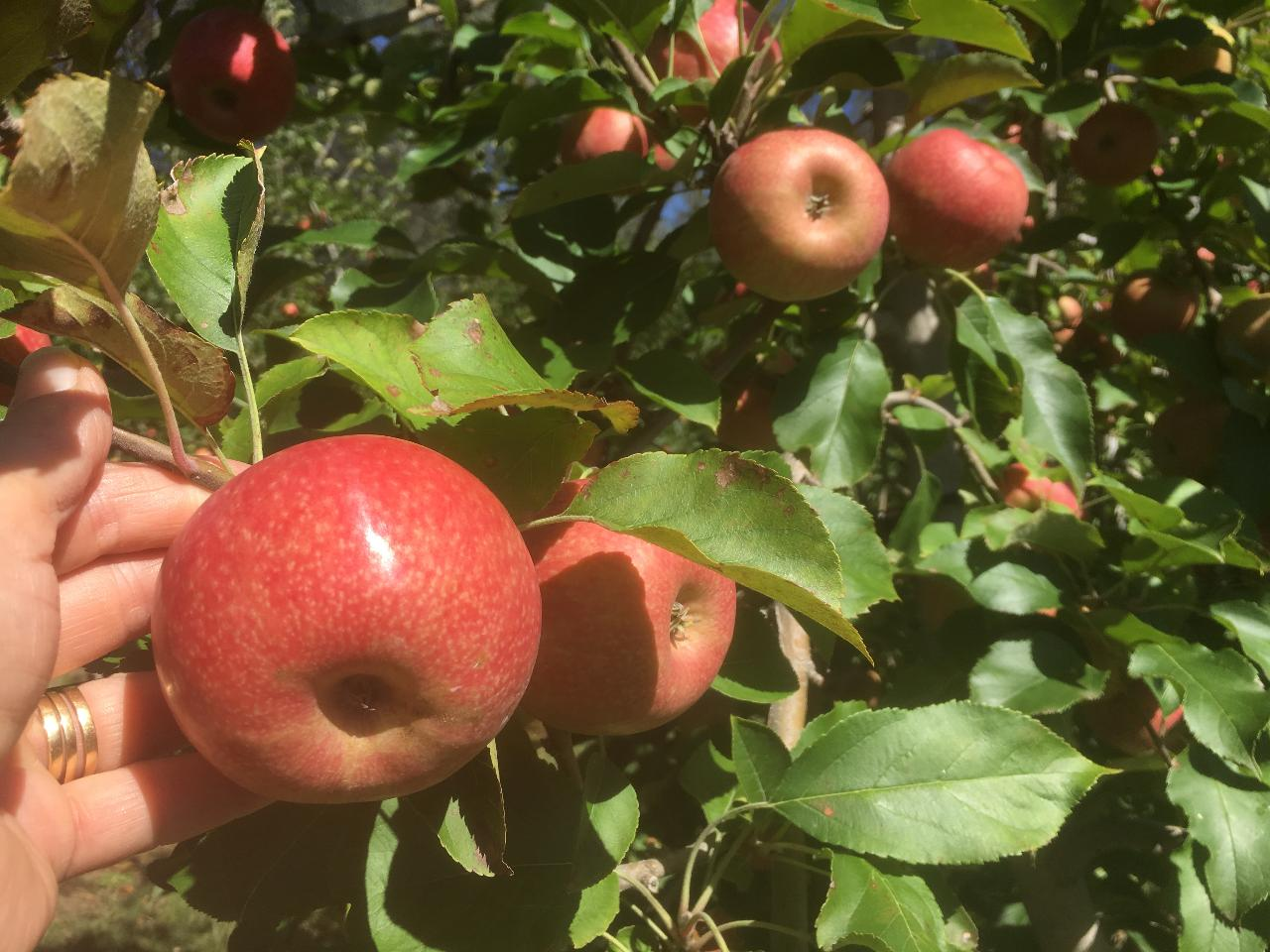 Pick Your Own Experience School Holidays- Pink Lady Apples walking