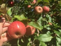 Walking Pick Your Own Experience - Pink Lady Apples