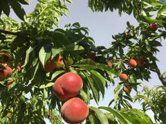 'Pick Your Own'- Stonefruit (Walking Tour) 15 & 16 December