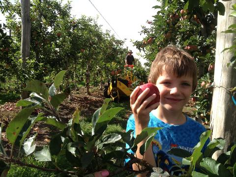 Childrens Pick Your Own 'Pink Lady Apple' Activity
