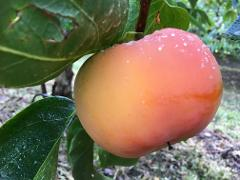 Pick Your Own Persimmons and 'Pink Lady Apple' Activity