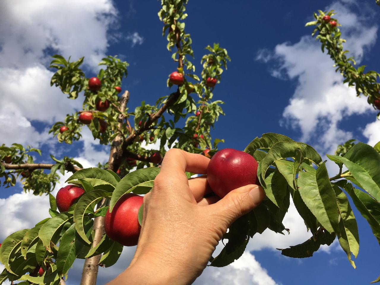 Simple 'Pick Your Own'- Nectarines (Walking)