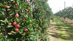 Pick Your Own Experience - GALA Apples