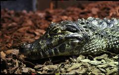 Adult Croc Keeper