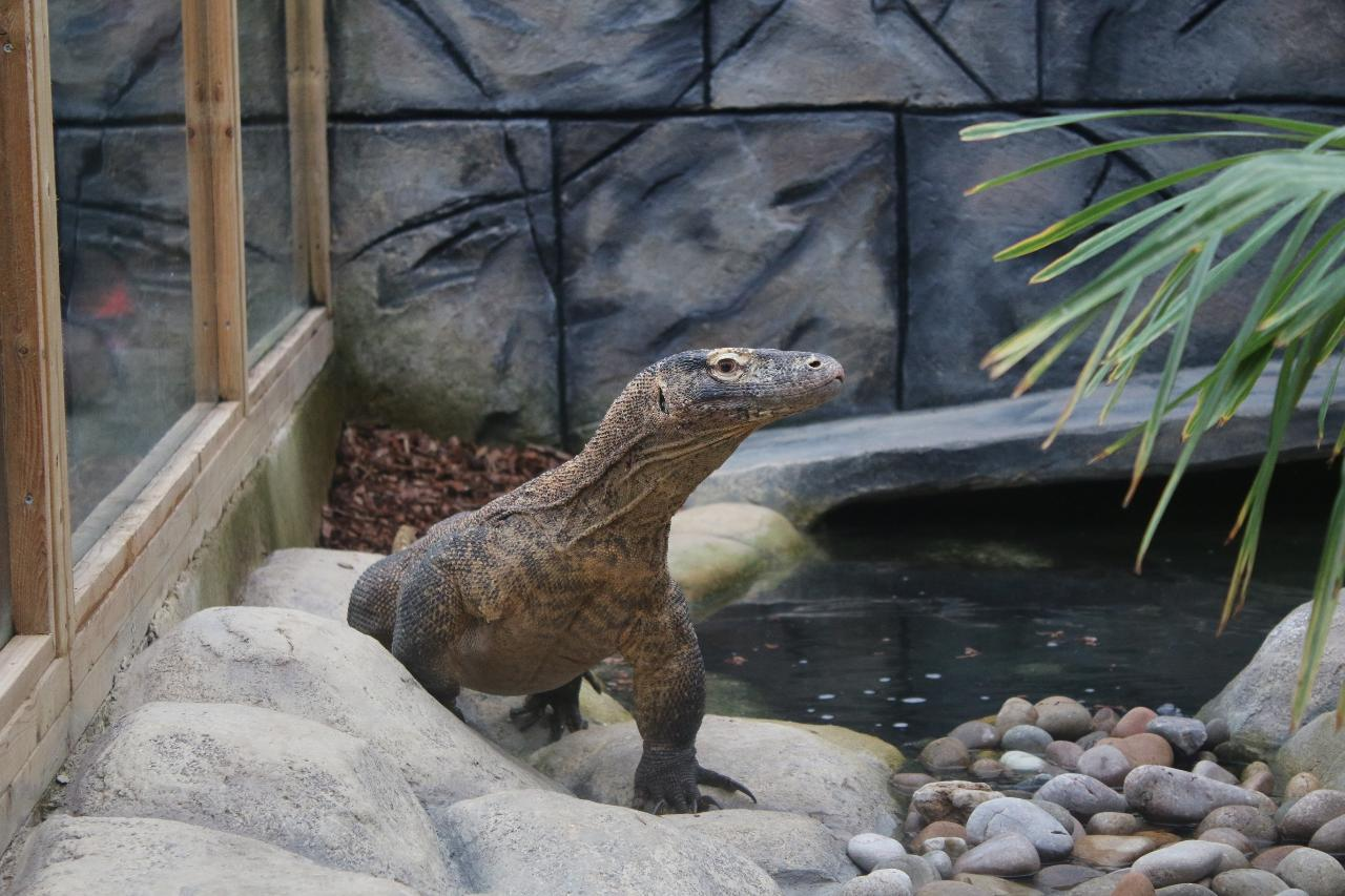 Komodo Dragon Experience