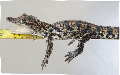 Junior Croc Keeper